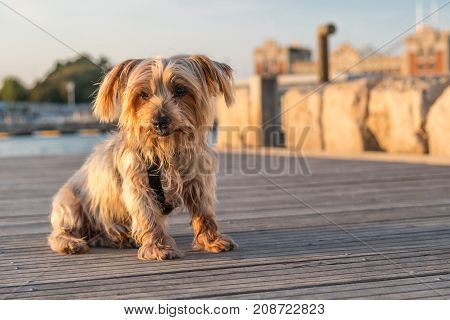 Expressive dog seated. doggie with curiosity expression doggie tilting his head and raising his ears. Yorkshire Terrier brown dog warm in the sun. Blurry background of a harbor and the sea