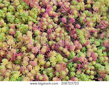 A close-up of a flower-bed of Spanish stonecrop plants, Sedum hispanicum. Pink and green sprouts form a colorfull background.