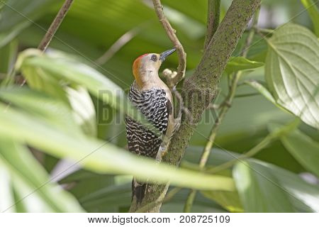 Hoffmanns Woodpecker in the Trees near Arenal Volcano National Park in Costa Rica