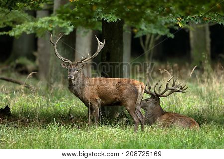 Red deer in the forest and during the rut