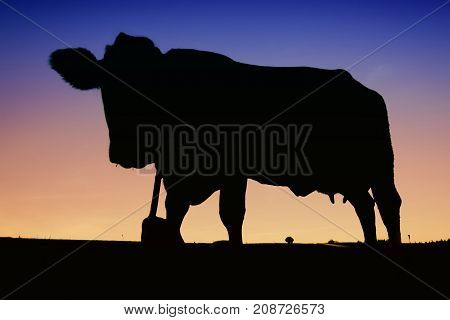 Cow silhouette pasture farm land at sunset
