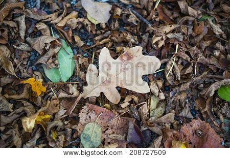 Faded autumn oak leaf lying on other fallen leaves on gravel walkway. High contrast between oak and surrounding brown crunchy leaves.
