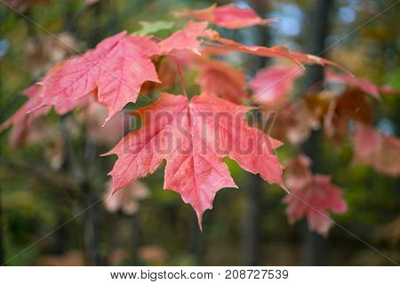 Branch of red orange maple leaves hanging in fall dark forest in soft focus behind.