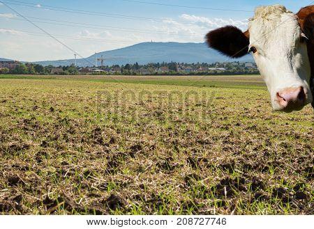Mountains and Farming land Cow entering frame