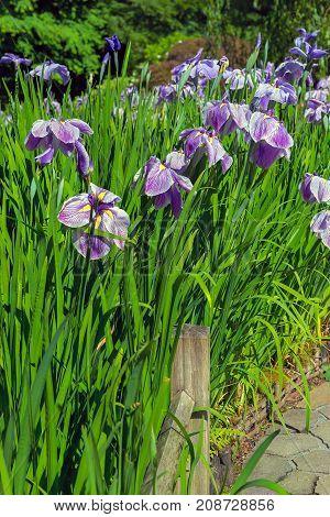 Purple Siberian Iris Flowers bud cluster in bloom along garden path in Japanese Garden in late Spring early Summer