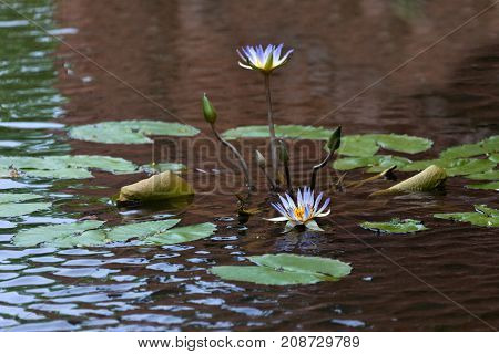 Purple, Violet Water Lily