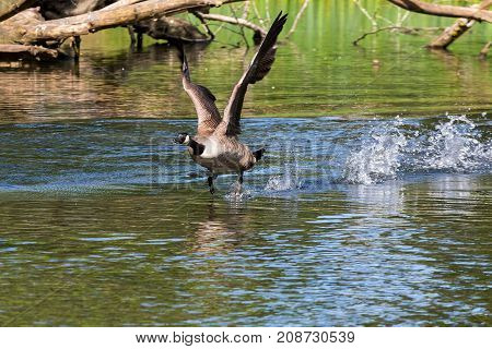 Canada Goose taking flight from lake in Crystal Springs Rhododendron Garden in Portland Oregon
