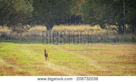 Lone Little roe deer on a big fiield