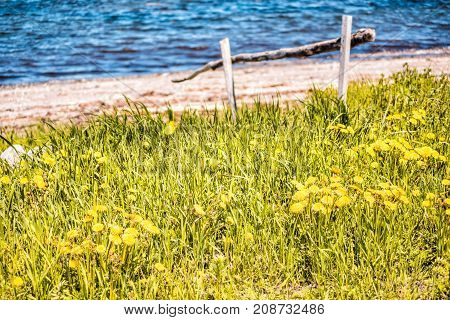 Field Of Yellow Dandelion Flowers By Wooden Fence Along Saint Lawrence River In Cap-chat, Quebec, Ca