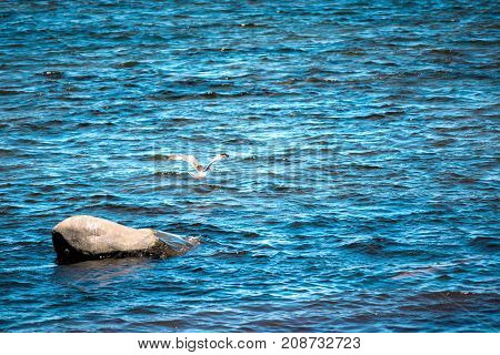 One Seagull Flying Away Flapping Wings From Large Ocean Rock In Saint Lawrence River Gulf In Quebec,
