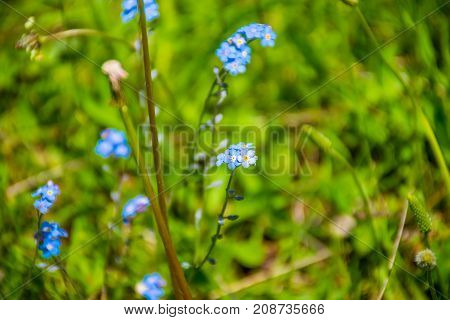 Forget-me-nots Grow On A Picturesque Glade Among The Mountains.