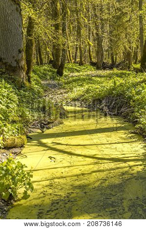 sunny illuminated idyllic forest scenery including a overgrown tarn at early spring time