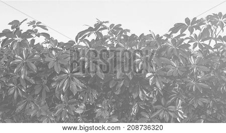 shrubbery, Green hedges,shrubbery texture background, exterior in natural style Black and white concept