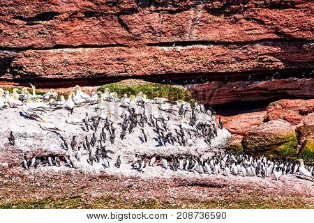 Closeup Flock Of Many Black Guillemots Perched On Rock Cliff Like Penguins By Bonaventure Island Cli