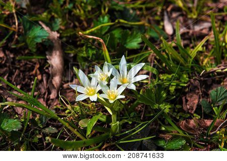 Snowdrops in forest, first spring flowers, close up