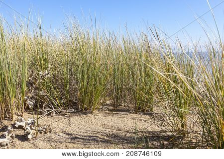 Image of specific grass (Ammophila - Marram Grass) located exclusively on sand dunes here in the nord west of France in FinistereBrittany.