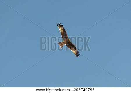 Red kite Milvus milvus in flight. This kite is currently endemic to the Western Palearctic region in Europe and northwest Africa. Photo taken in Mesa de Ocaña Toledo Spain