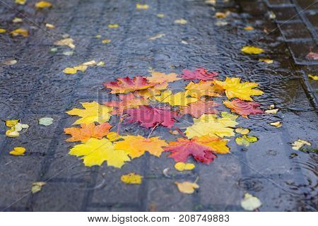 Autumn rain. Fallen maple leaves in a puddle.