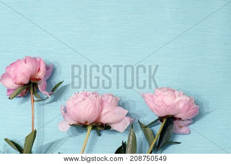 Blooming Flowers Of Pions Gently Pink Color Lie On Blue Wrapping Paper