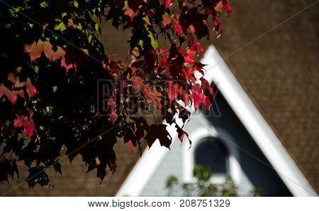 Red Maple Foliage In Redmond Town Center