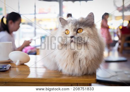 Maine coon cat sitting on wood table in cat cafe