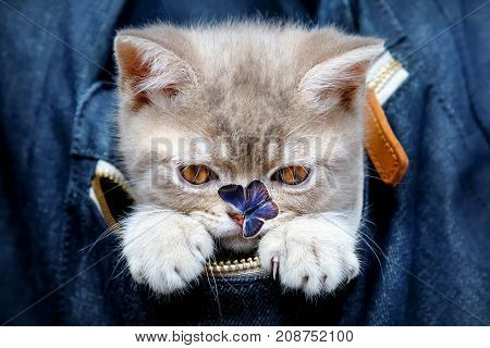 Skottish-straity little cute kitten in a denim bag with butterfly on the nose