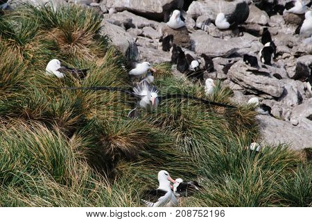 Black-Browed Albatross on their breeding colony on Westpoint Island, the Falklands.