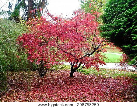 decorative tree with red leaves. Red leaves falling in autumn.