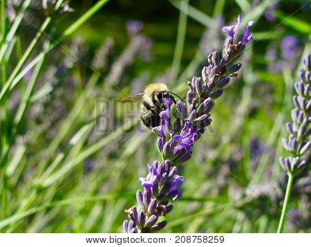 bumblebee eating nectar on a lavender flower in a grass feeld