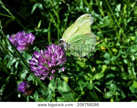 Sulphur Butterfly, green sulphur, special sulphur, green like a leave, camouflage like a leave