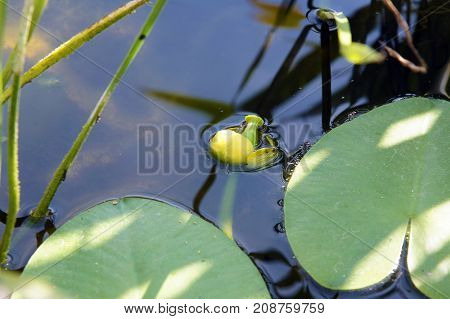 Mature flower nuphar lutea (water-lily brandy-bottle cow lily) in a pond