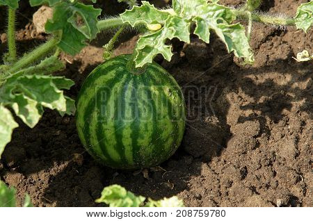 Young striped watermelon grows on vegetable bed