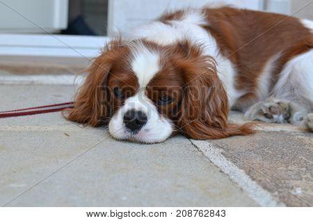 Adorable Cavalier King Charles Spaniel falling asleep