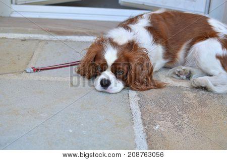 Adorable Sleepy Doggy