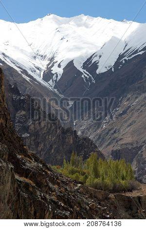 Himalayan oasis, poplar trees on terrace, Ladakh, Jammu & Kashmir, India