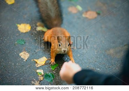 Feeding a squirrel on a rainy autumn day in the park.