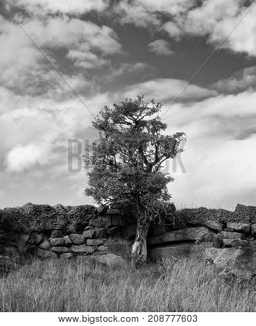 dramatic monochrome image of a simgle tree standing against an old stone wall with cloudy sky