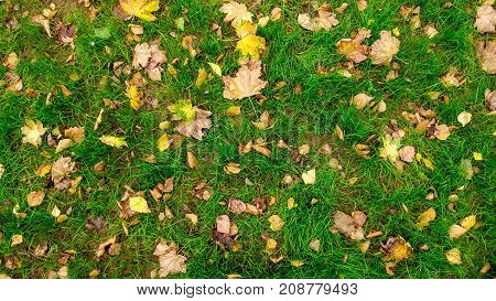 Yellow leaves on the grass in autumn, spring grass on the field, view from top, fallen leaves scattered, autumn background the wild.