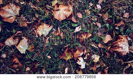Yellow leaves the grass autumn, spring grass the field, view from the top, fallen leaves scattered, autumn background on the wild.