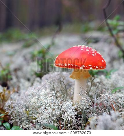 The red fly-agaric grows in the wood among a reindeer lichen. The beautiful mushroom is toxicant and hazardous to health and life. In the last centuries it was used as an insecticide.