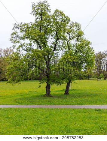 Large trees and meadow in the park