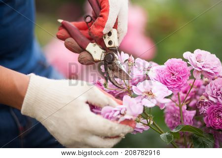 Closeup Of Hands In White Gloves And Secateurs Pruning Rose Flowers