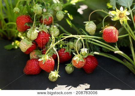 Horizantal natural light photo of strawberries on the black film.