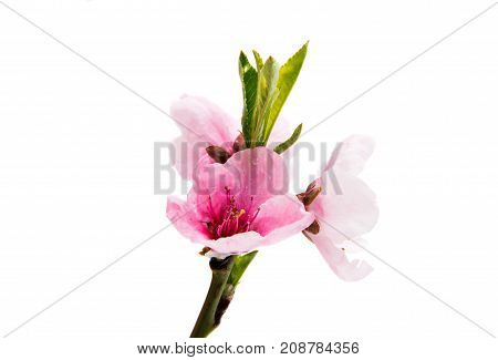Sakura spring flowers isolated on white background