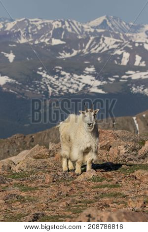 a beautiful mountain goat in the Colorado high country