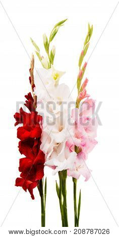 beauty, bouquet gladiolus flower on white background
