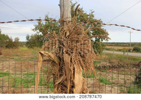 Corn stalks tied to a wooden fence post