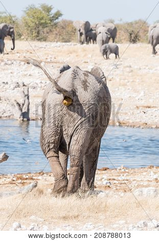 An African elephant Loxodonta africana pooing at a waterhole in Northern Namibia