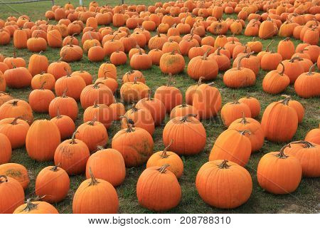 Rows of pumpkins on sale in fall