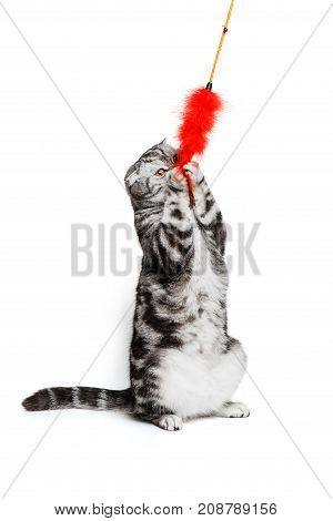 Portrait cat scottish fold sort on white background